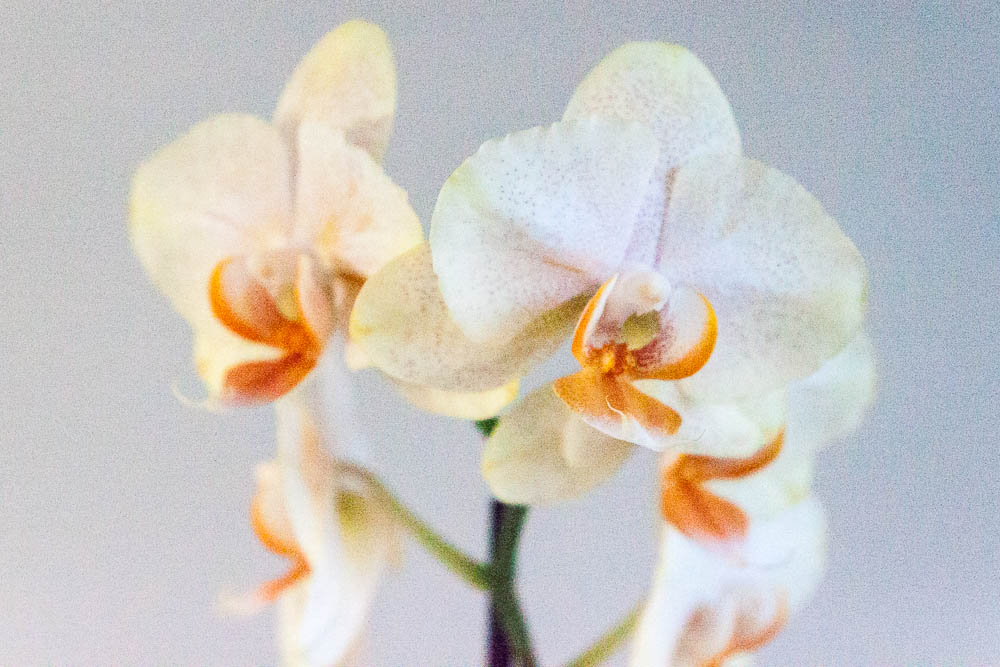 Orchid 1/3200, f4, ISO 3200
