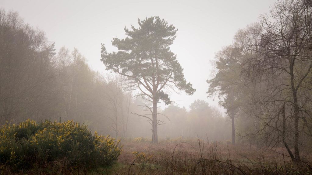 Scots Pine Sherwood Forest